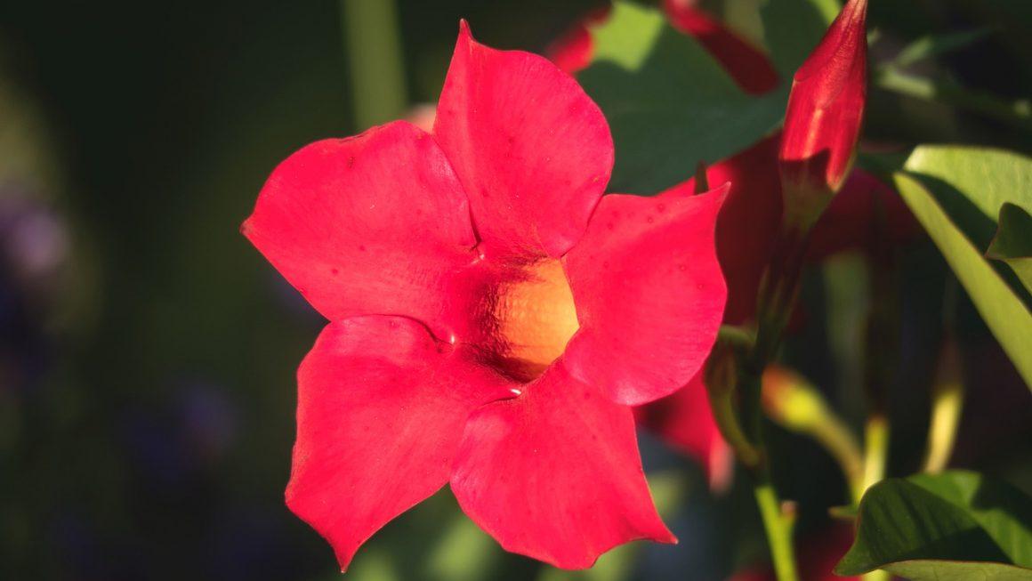 Tölcsérjázmin (Mandevilla) gondozása – Részletes útmutató