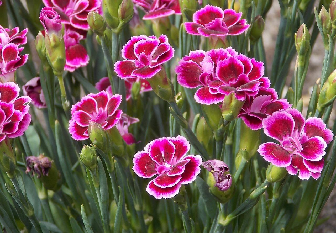 kerti szegfű