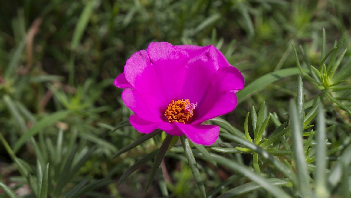 Porcsinrózsa (kukacvirág) gondozása – Részletes útmutató