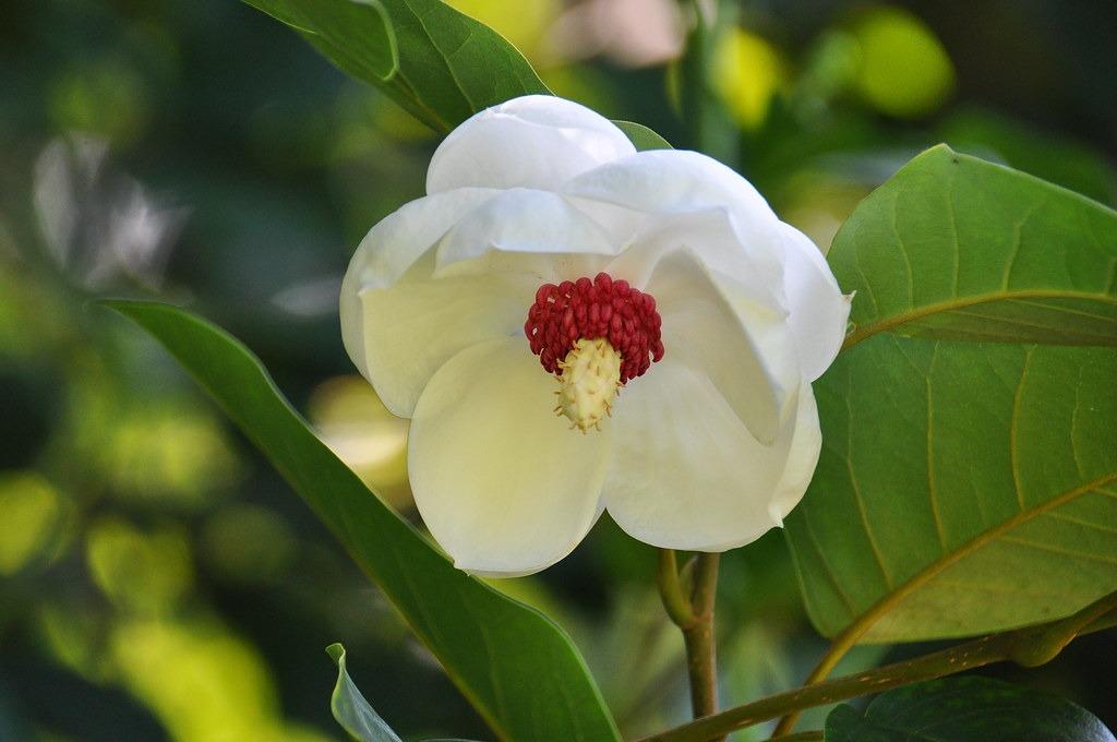 Magnolia sieboldii