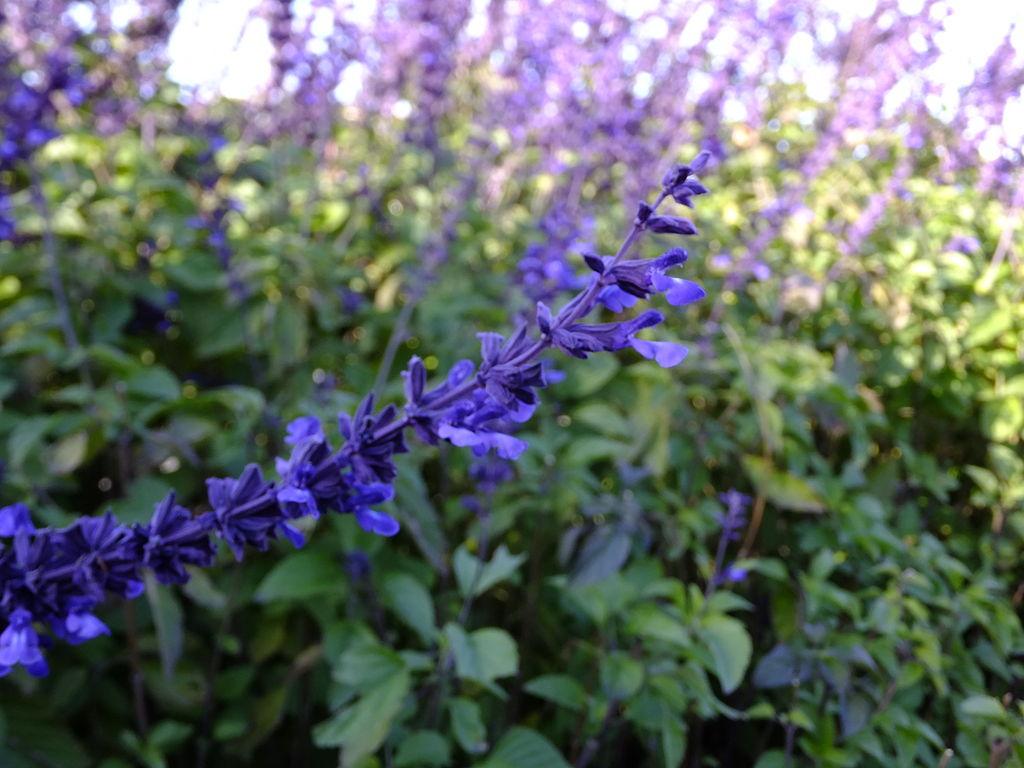 Salvia longispicata x farinacea