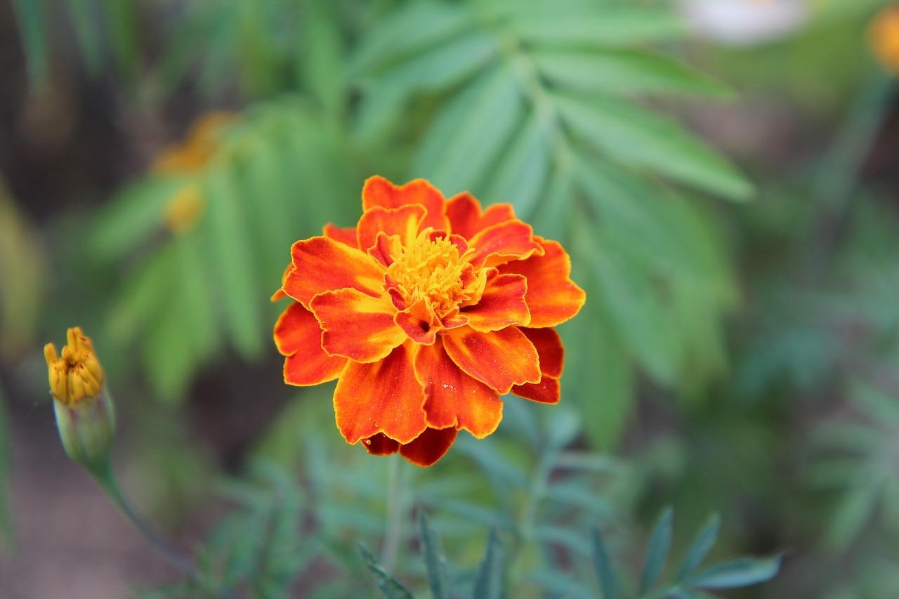 kisvirágú bársonyvirág