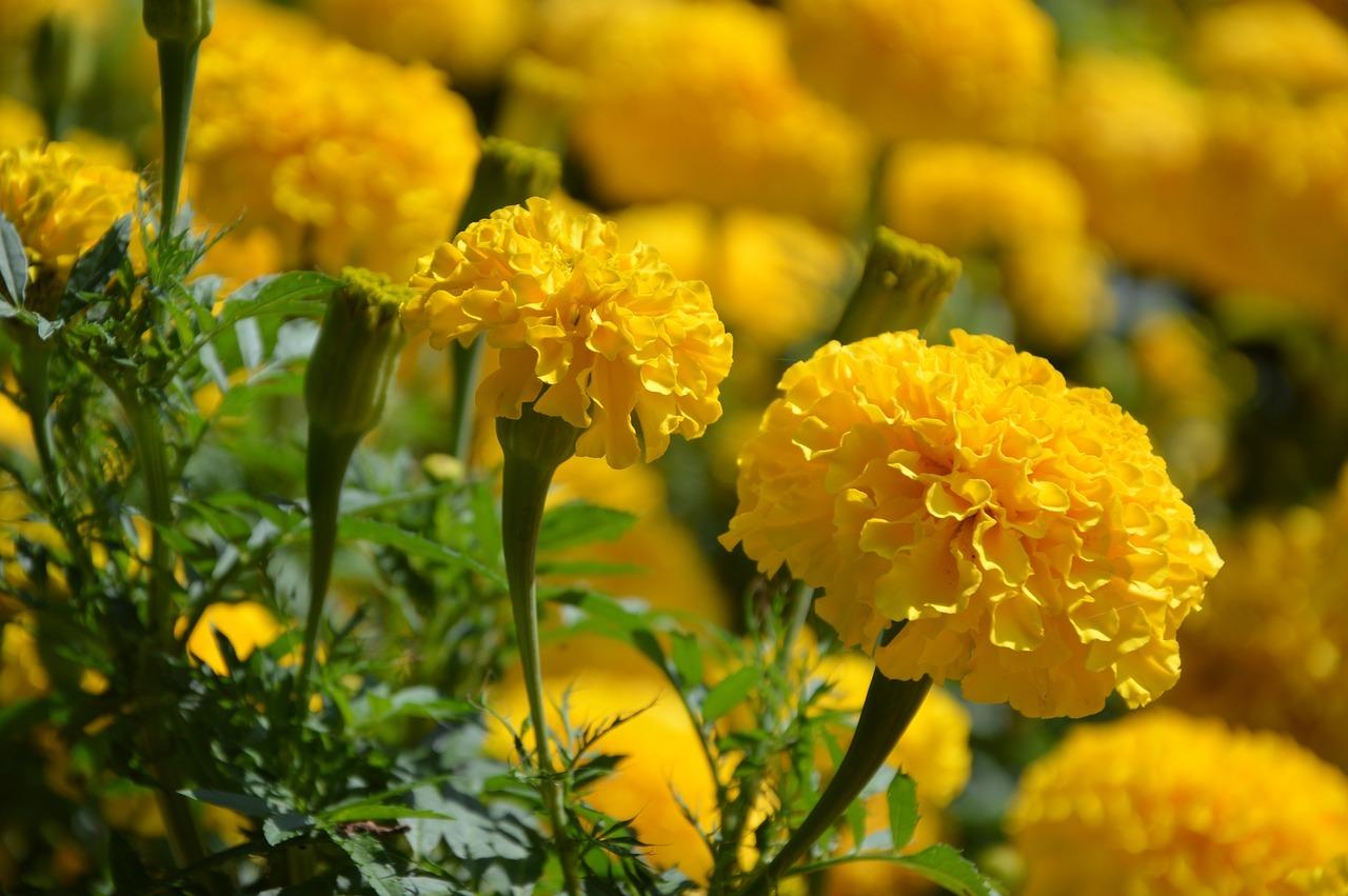 nagyvirágú bársonyvirág