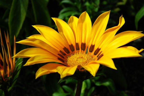 Záporvirág gondozása – Részletes útmutató