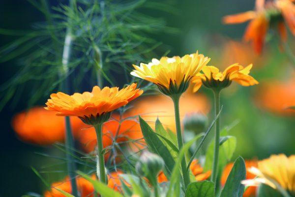 Körömvirág gondozása – Részletes útmutató