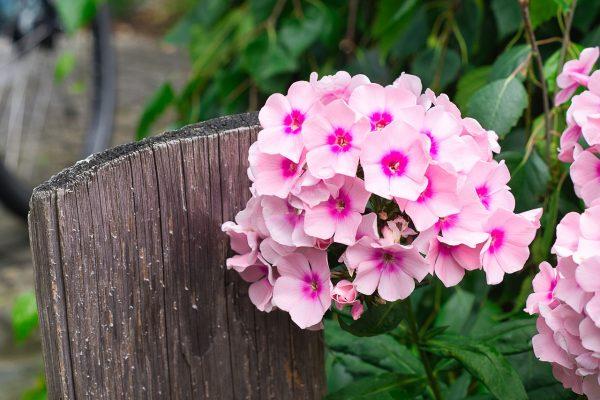 Lángvirág gondozása – Részletes útmutató
