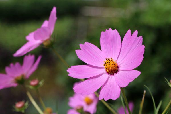 Pillangóvirág gondozása – Részletes útmutató
