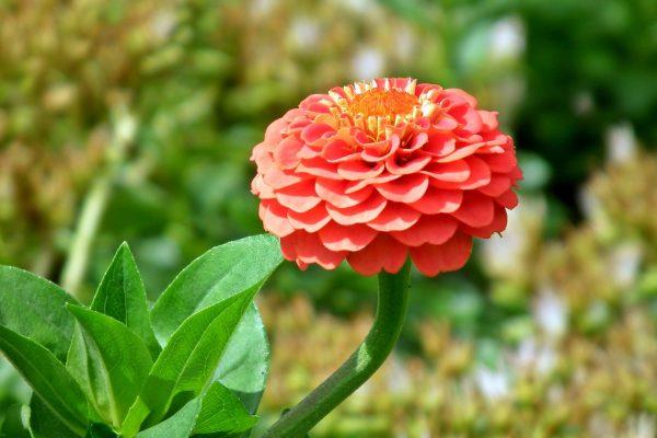 Rézvirág gondozása – Részletes útmutató