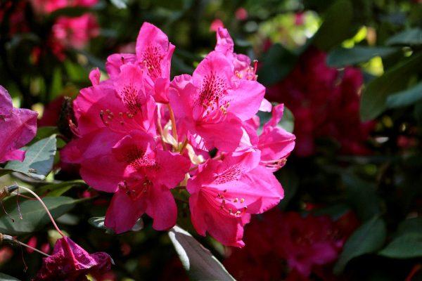 Rododendron gondozása – Részletes útmutató