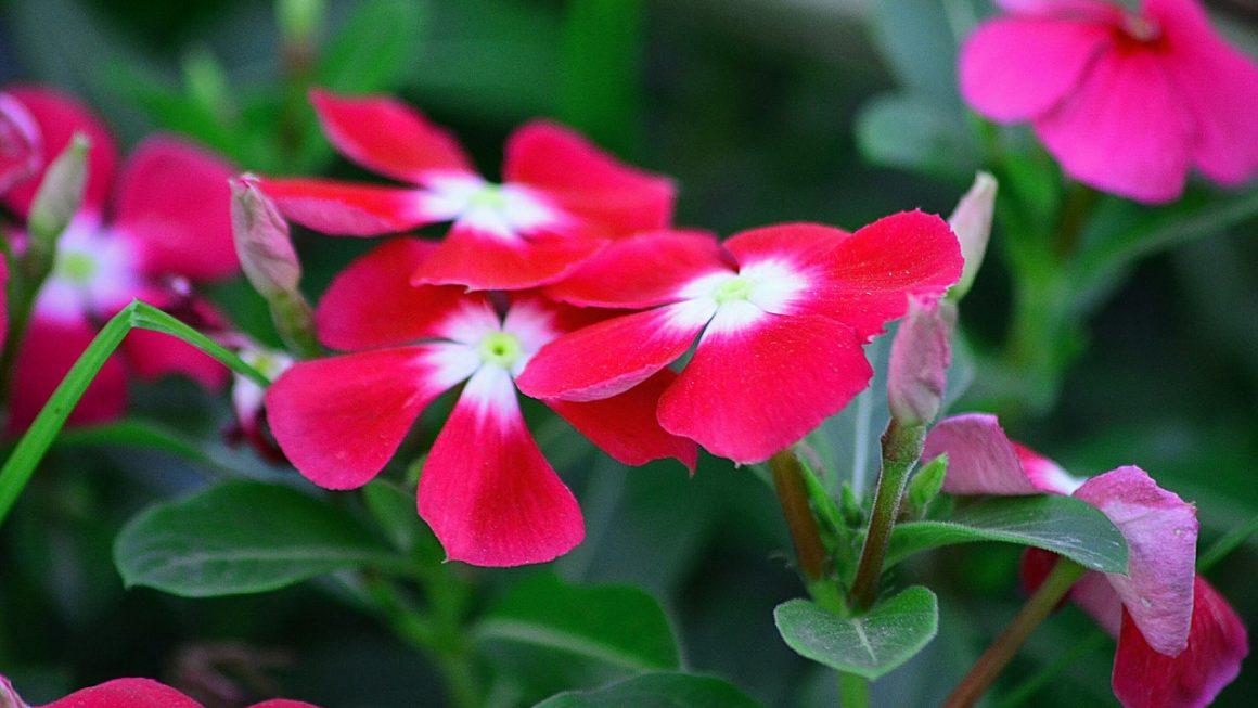 Rózsameténg (Vinka) gondozása – Részletes útmutató