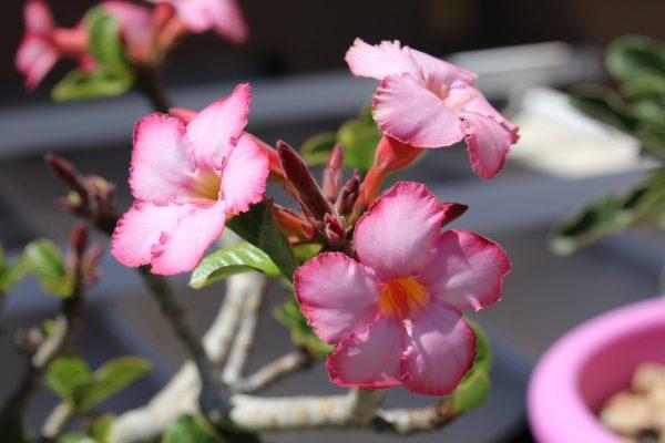 Sivatagi rózsa gondozása – Részletes útmutató