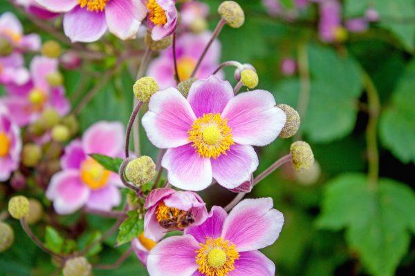 Szellőrózsa gondozása – Részletes útmutató