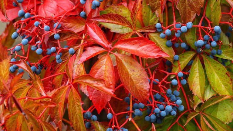 vadszőlő