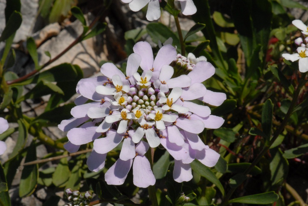 gibraltári tatárvirág