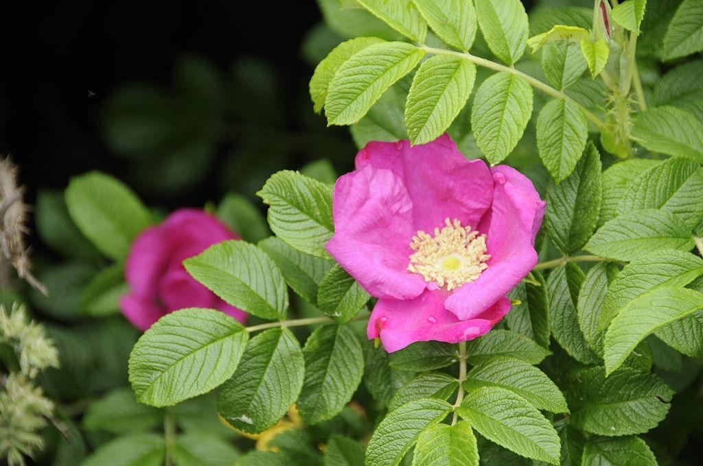 japán rózsa