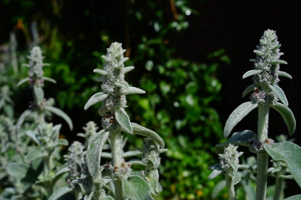 Nyuszifül gondozása – Részletes útmutató