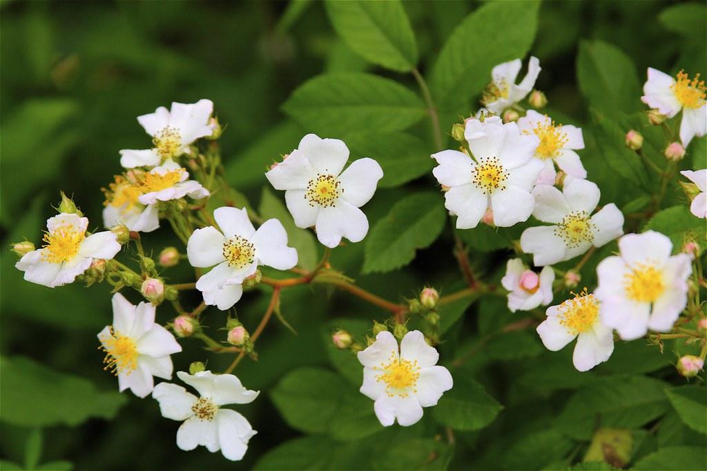 sokvirágú rózsa