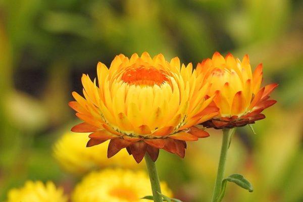 Szalmavirág gondozása – Részletes útmutató