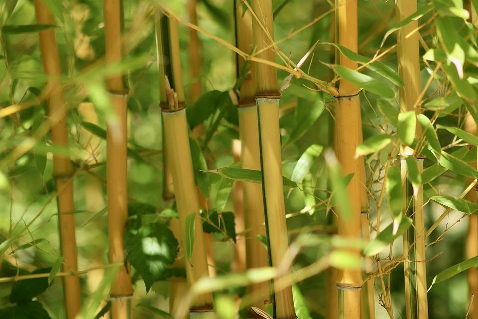 Bambusz gondozása és ültetése – Részletes útmutató