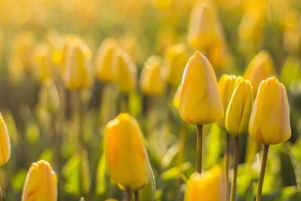 Tulipán gondozása – Részletes útmutató