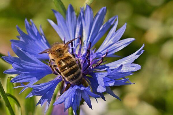 A virágos növények mindössze 7%-át érzékeli kéknek az emberi szem