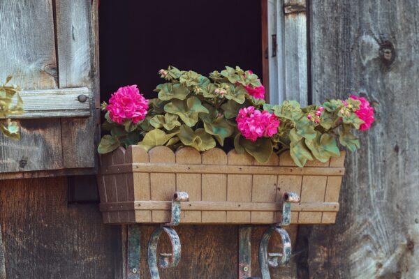 Muskátli: a kezdő kertészek legjobb választása